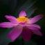 荷花 – 大观园 Lotus – Grand View Garden