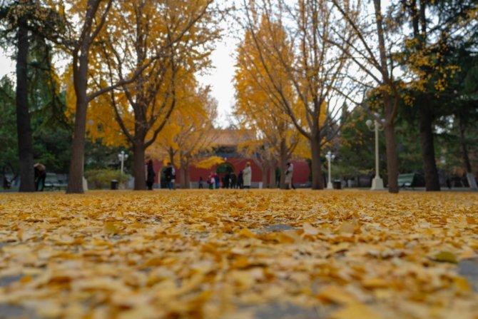 银杏-中山公园