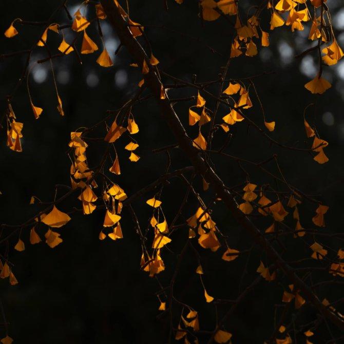 银杏 – 地坛公园